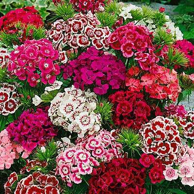 Dianthus Indian Carpet