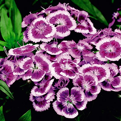 Dianthus Barbatus Perennial Mounding And Container Plant