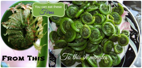 Fiddlehead ferns. The edible vegetable from a fern plant. Find out how to cook them at https://thegardeningcook.com/fiddlehead-ferns/