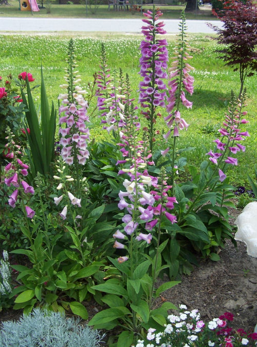 garden bed with foxgloves growing