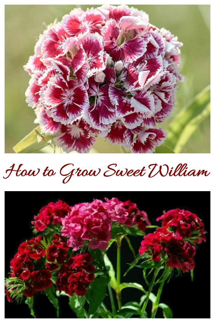 Dianthus Barbatus is also known as Sweet William. It is a tender perennial, often grown as a biennial in most hardiness zones.