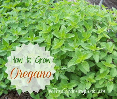 Growing oregano is very easy. It's also a perennial so it will come back next year.
