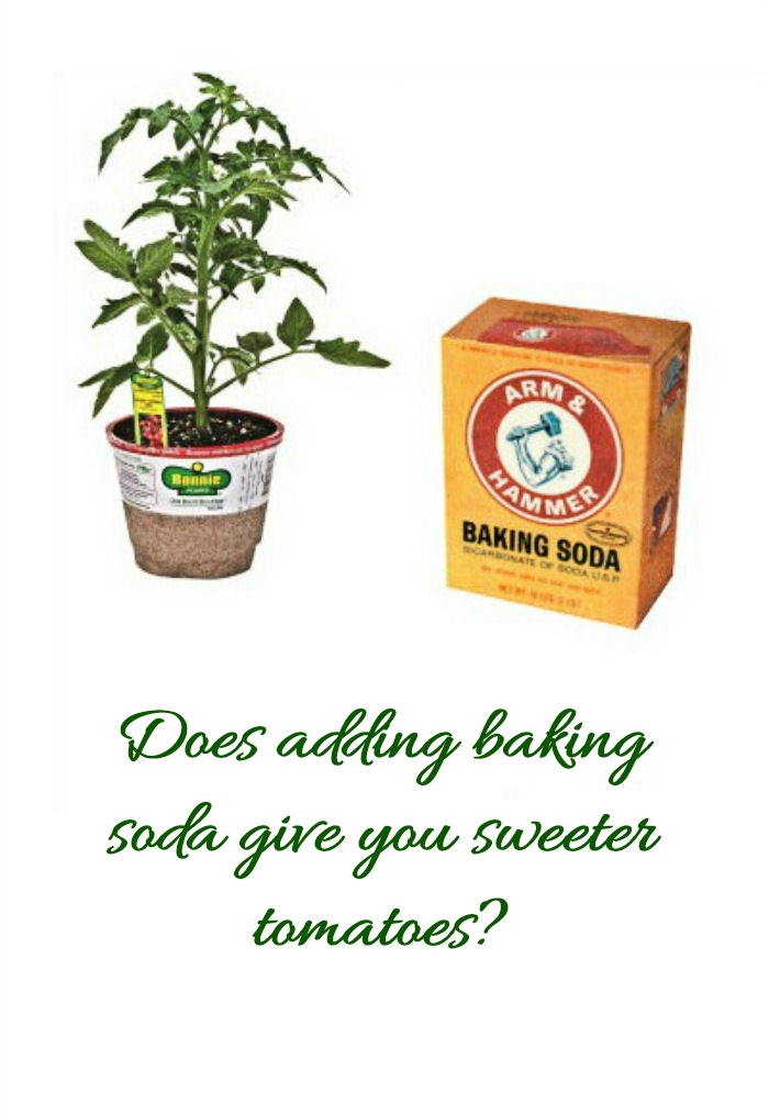 Growing sweet tomatoes depends on many things. Does adding baking soda help?