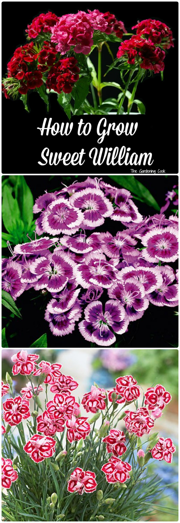 How to grow Sweet William - Dianthus. This plant makes nice mounds of bright color all summer long. Some are annuals and some are quite hardy. thegardneingcook.com