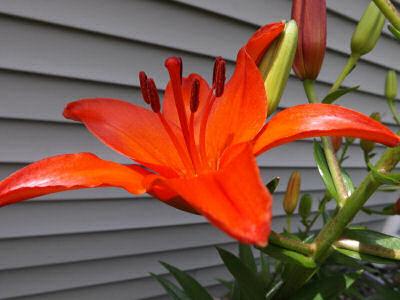 Red Daylily.