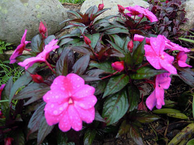 New Guinea Impatiens just after the rain