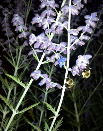 Bumblebees sleeping on sage flowers about 10 pm