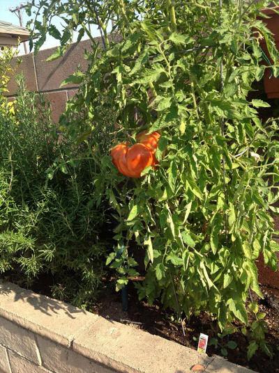 Lone tomato!