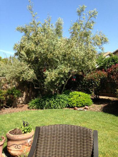 Kelly Bear olive trees