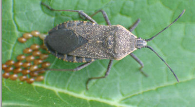 Control Squash bugs and eggs by following these tips