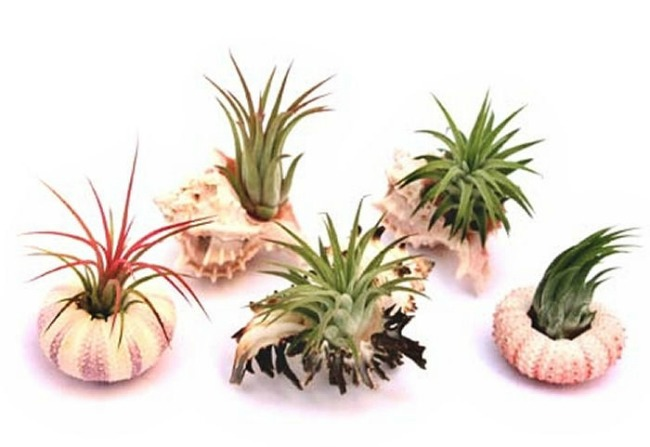 Air plant sea shells from Air plant shop
