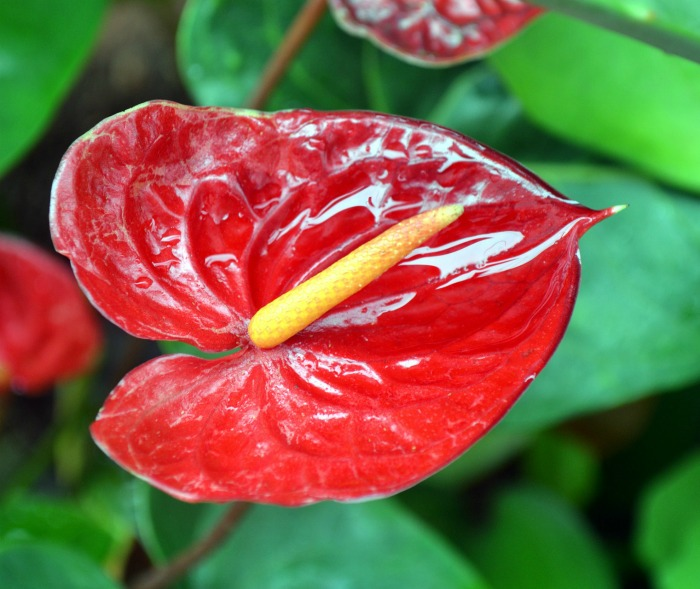 Anthurium flower head is so exotic looking
