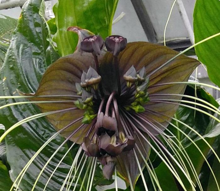 bat head lily