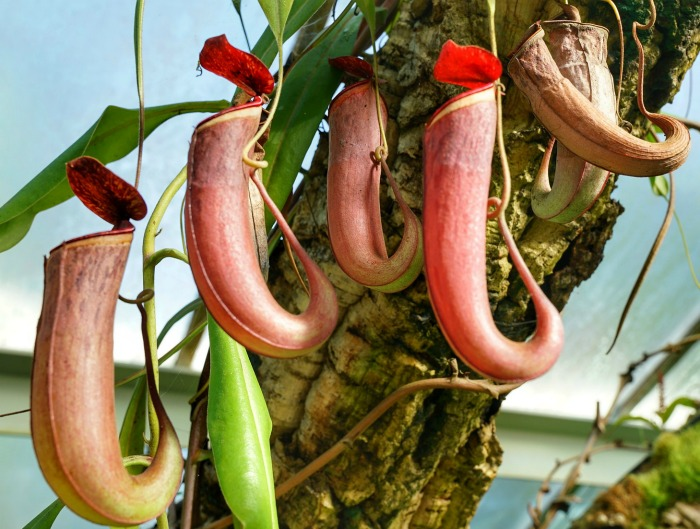 These carnivorous pitcher plants trap insects that are attracted to their opening and fall inside the pitcher like blooms
