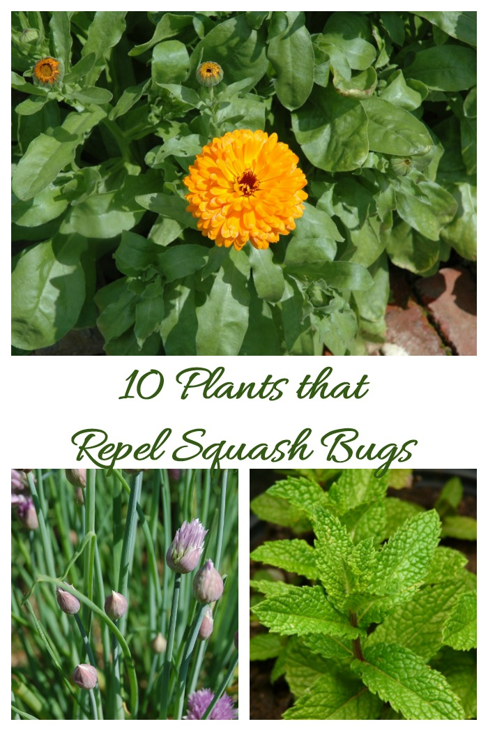 If you have a problem with squash bugs, plant these 10 companion plants