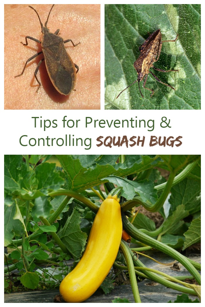 Control squash bugs in an organic way with these tips for prevention and control.