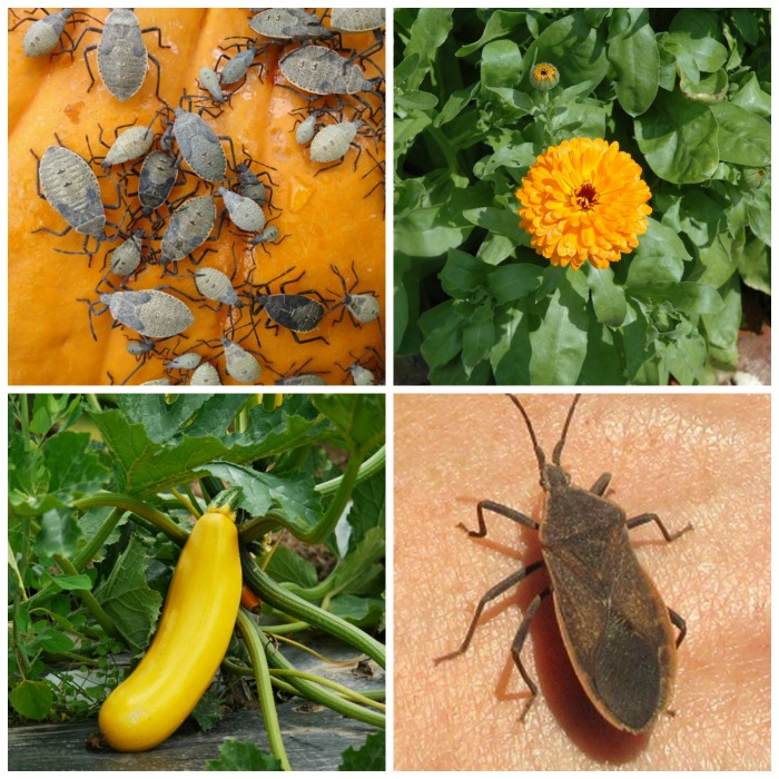 10 Easy Ways To Control Squash Bugs For Pest Free Gardens