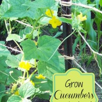 For an easy harvest, grow your cucumbers up instead of out!