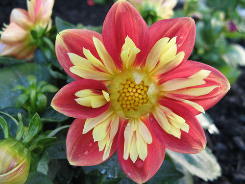 Peach and yellow dahlia