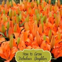 How to grow fabulous dayliliies