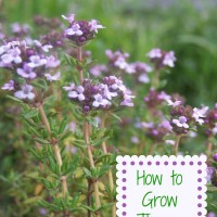 How to Grow Fresh Thyme