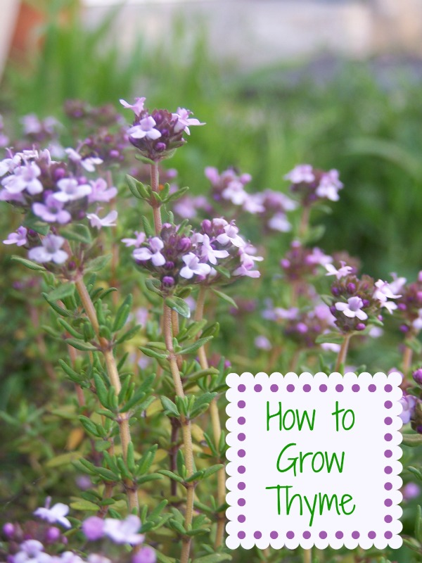 Growing Thyme is easy. It gives loads of flavor to your recipes and can be grown in pots or in the garden.