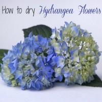 How to dry hydrangea flowers