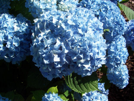 Hydrangea flowers.