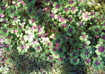 My oxalis patch in flower. Such delicate beauties.