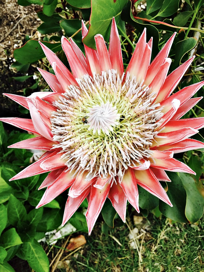 King protea flower head