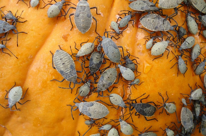 Squash bug infestation on pumpkins