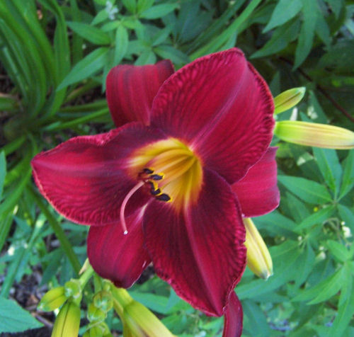 red volsdaylily