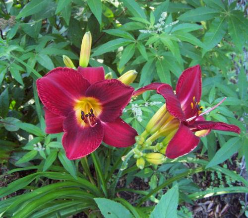 red vols daylily