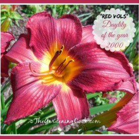 Red Vols was voted daylily of the year in 2000. See how to grow it thegardeingcook.com/