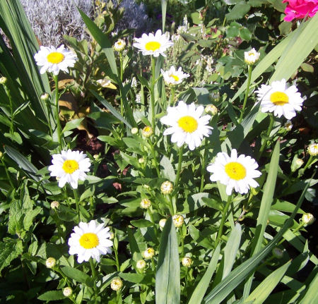 My birthflower - Shasta daisies.