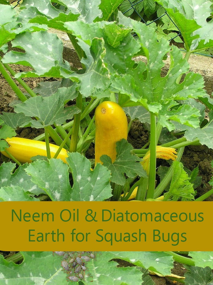 Neem oil and Diatomaceous earth are both good natural squash bug treatments