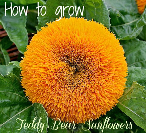 How to grow Teddy Bear Sunflowers