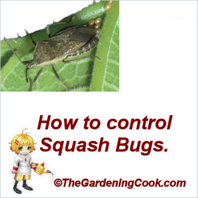 How to control squash bugs