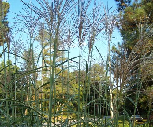 grassy tufts