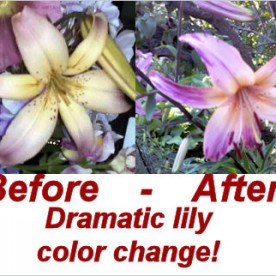 Dramatic lily color change