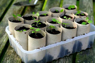 Toilet paper rolls make great seed starters
