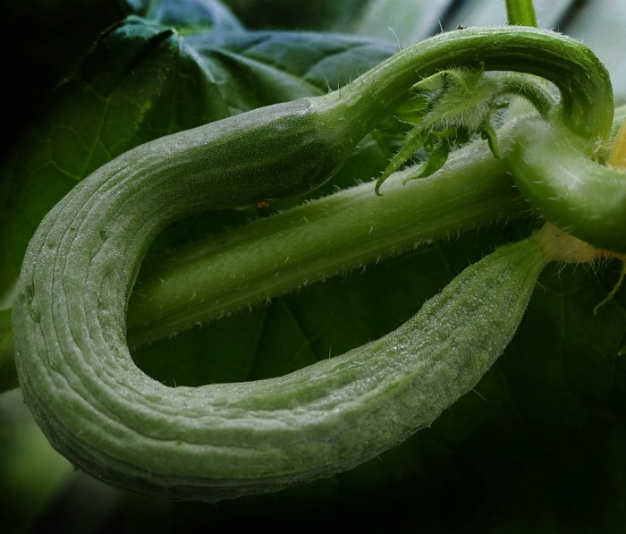 Crooked snake like cucumber
