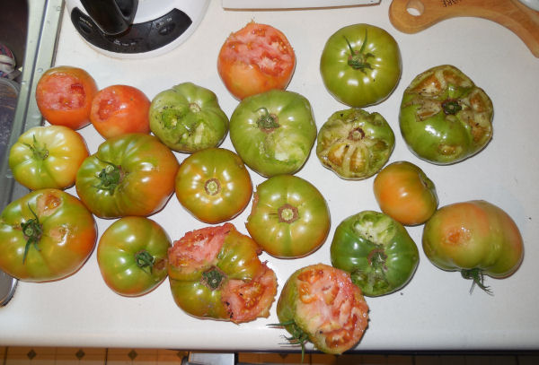 Harvest of squirrel eaten tomatoes
