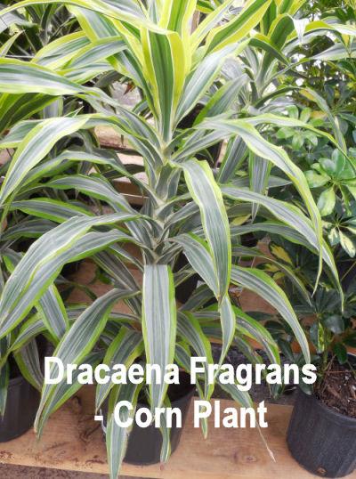 Dracaena Fragrans - Corn Plant