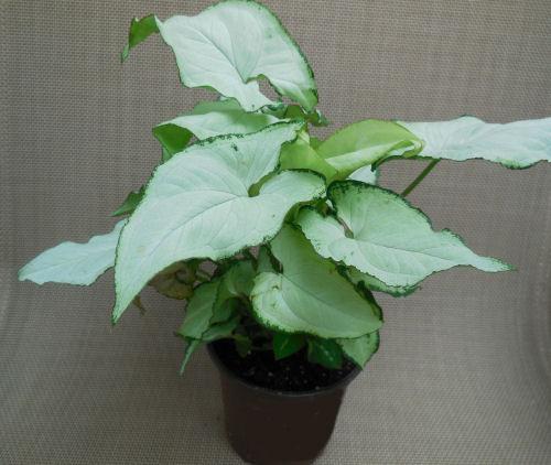 Exotic Allusion - Syngonium Podophyllum