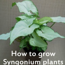 How to grow syngonium plants