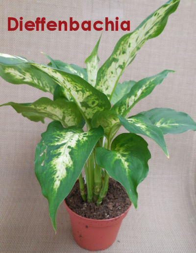 "Dieffenbachia - also known as ""dumbcane."""