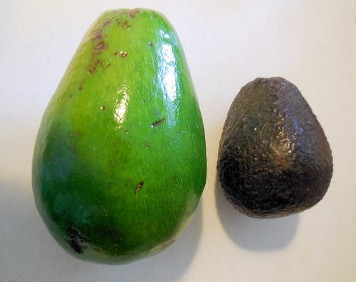 Florida Avocado vs Haas avocado.