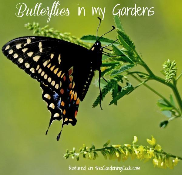 Spicebush Swallowtail Papillo troillus