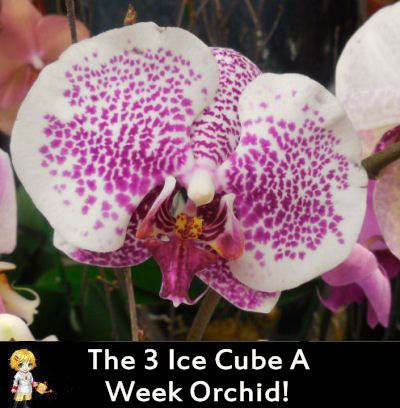 Phalaenoposis Orchids - Just three ice cubes a week to water!